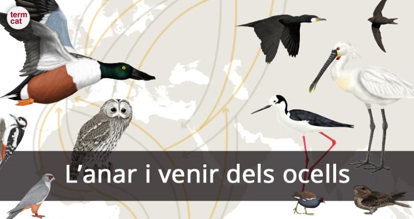 infografia_migracio_ocells2